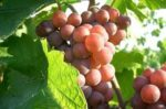 What are Pinot Gris wines?